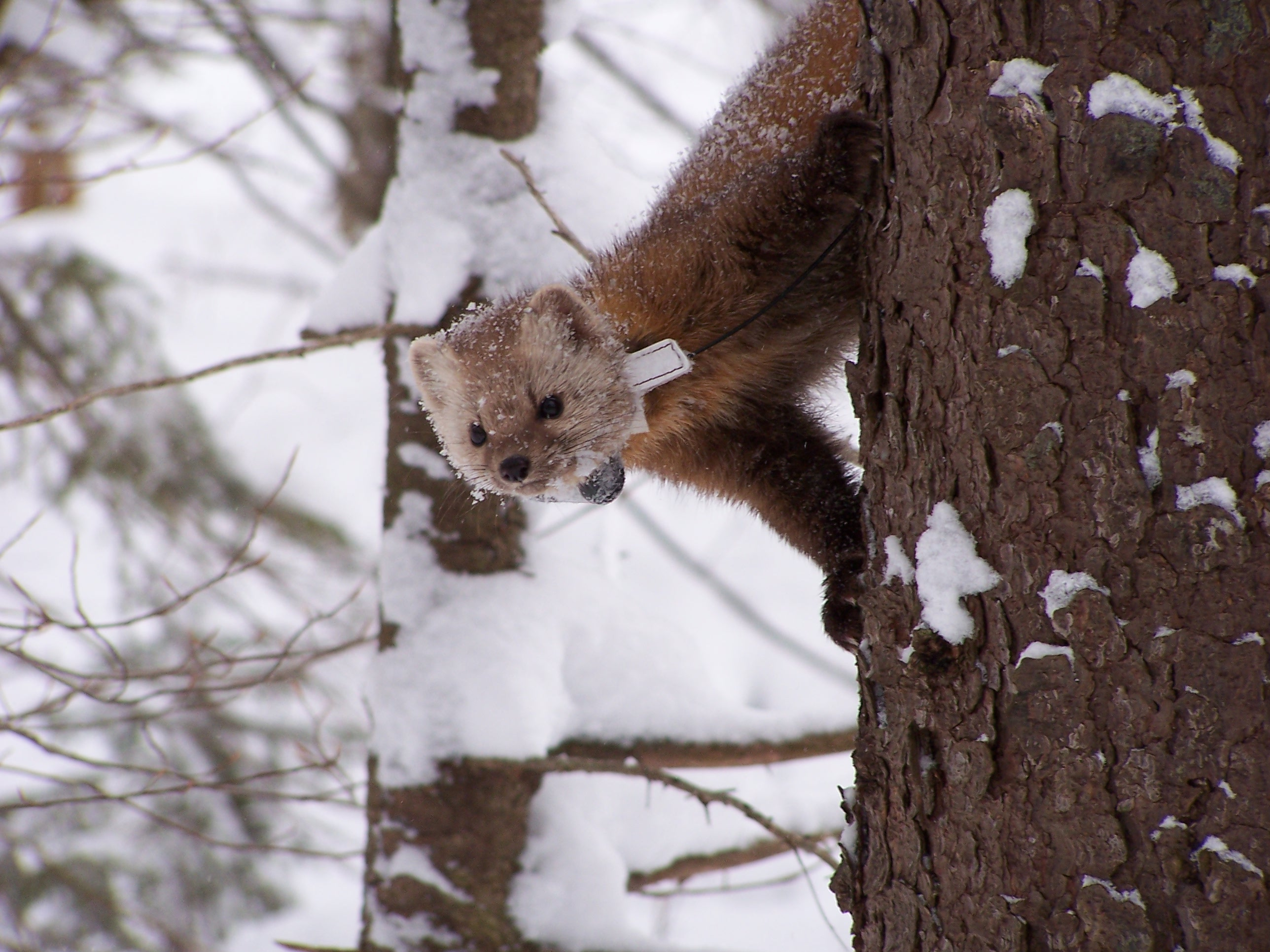 Radio-collared marten in the Adirondacks