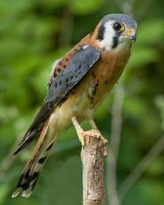American kestrel perched on a branch