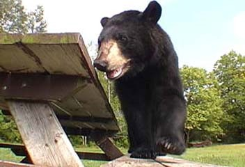 A black bear on top of a picnic bench