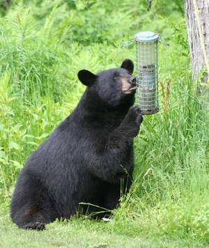 A black bear sitting on the ground, sniffing and holding a hanging birdfeeder.