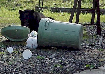 A black bear eating out of a tipped over residential trash can.