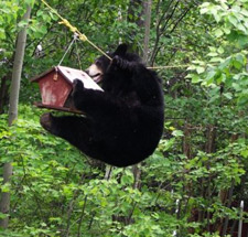 A black bear pulls itself along a rope used to hold a birdfeeder.