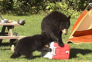 A sow black bear and her cub attempting to get food out of a standard cooler at a campsite.