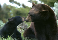 picture of a sow black bear with her cub.