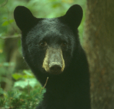 A black bear in the forest.