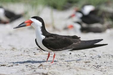 Black Skimmer Fact Sheet - NYS Dept  of Environmental