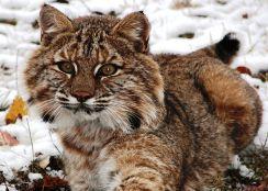 Bobcat - NYS Dept. of Environmental Conservation