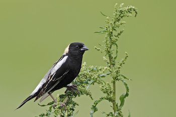 Male Bobolink perched on vegetation