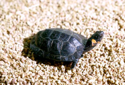 Photo of a bog turtle on some fine gravels