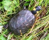 Bog turtle, Photo by D. MacDougall