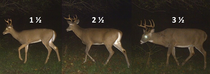 comparison of bucks at three different ages