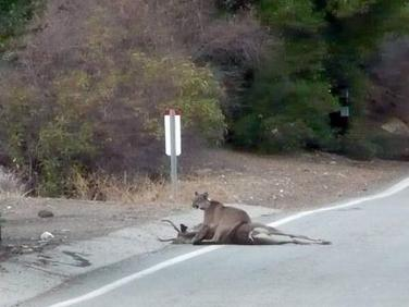 Cougar straddling a deer in California