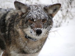 An Eastern coyote