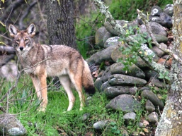 Coyote ~Photo by Steve Thompson; courtesy of USFWS