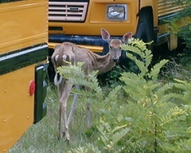 White-tailed deer infected with Chronic Wasting Disease