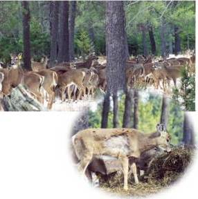 deer congregated at a feeding area and an injured deer