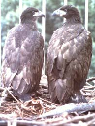young bald eagles in tower, 1976