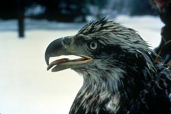 closeup of juvenile eagle