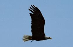 bald eagle in flight, wings up