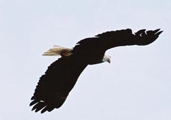eagle in flight, wings straight