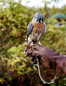 American kestrel resting on a falconers gloved hand