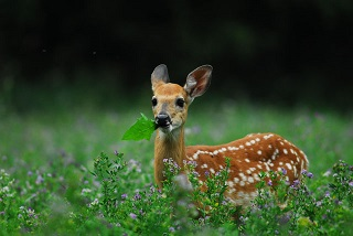 a fawn eating a leaf