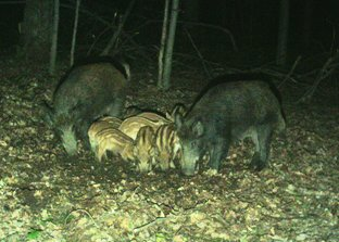 Feral swine adults and piglets