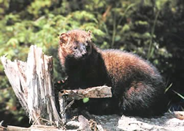 A Fisher sitting on a rock in front of some vegetation