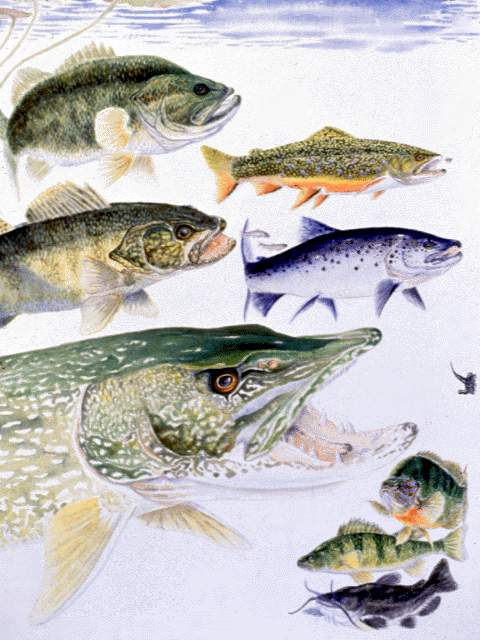 Freshwater fishes nys dept of environmental conservation for Nys freshwater fishing license