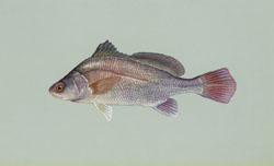 photo of a freshwater drum