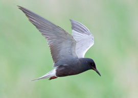 Photograph of Black Tern