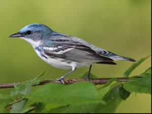 Photograph of Cerulean Warbler on a branch