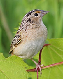 Photograph of Grasshopper Sparrow