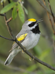 Photograph of Golden-winged Warbler