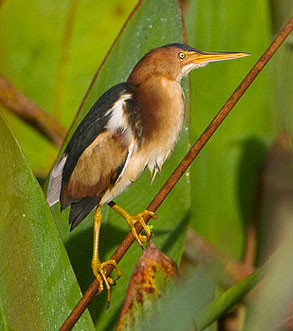 Photo of a Least Bittern