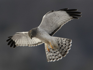 Photo of a male Northern Harrier hovering
