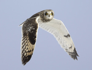 Photo of a Short-eared Owl