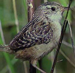 Photograph of Sedge Wren