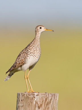 Photograph of Upland Sandpiper