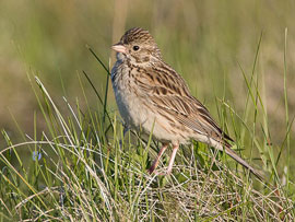 Photograph of Vesper Sparrow