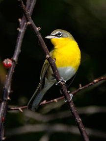 Photograph of Yellow-breasted Chat