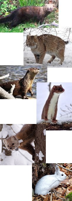 Six different images showing some of the different furbearers that can be reported for the sightings survey