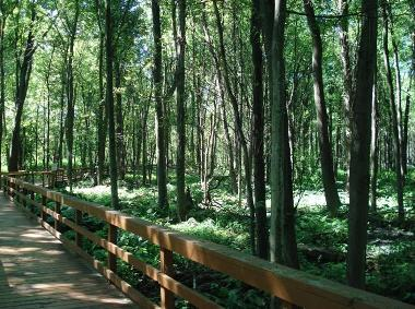 Boardwalk area at Great Baehre Swamp WMA in summer