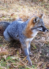 Gray Fox Nys Dept Of Environmental Conservation