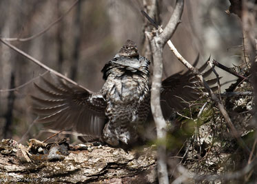 A ruffed grouse drumming.