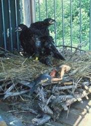 eaglets in hack cage