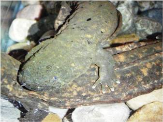 Eastern hellbenders can reach up to two feet in length and live up to 30 years in wild.