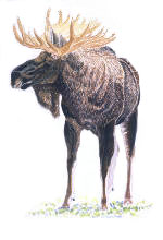 Painting of a Moose by Jean Gawalt