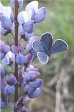 photo of Karner blue butterfly on wild blue lupine
