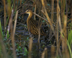 photo of a king rail